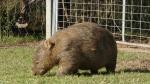 Ein Wombat - vorzugsweise abends können die gern mal urplötzlich neben einem auftachen. Zum Beispiel, wenn man nichtsahnend beim Abendessen sitzt. Ich wurde ja vorgewarnt, aber gerade beim ersten Mal erschreckt man sich trotzdem ganz schön.