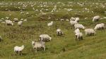 Neuseeland - ganz klar das Land der Schafe