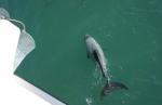 Ein kleiner Hector-Delfin; die gibt es nur in den Gewässern von Neuseeland. Sie werden von der Besatzung nicht angelockt und gefüttert sondern entscheiden immer selbst, ob sie mit dem Boot schwimmen wollen oder nicht.
